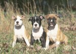 AKC American Staffordshire Terrier