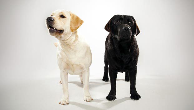 Dog dna reggie 39 s house for Dog house for labrador retriever