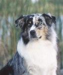 AKC Australian Shepherd