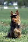AKC Australian Terrier