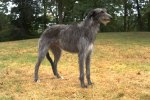 AKC Scottish Deerhound